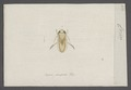 Corisa - Print - Iconographia Zoologica - Special Collections University of Amsterdam - UBAINV0274 041 12 0003.tif