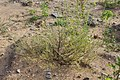 Corispermum hyssopifolium 90419110.jpg