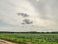 Corn field and clouds (14434602297).jpg