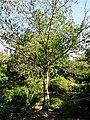 Cornus controversa - J. C. Raulston Arboretum - DSC06166.JPG