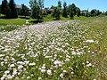 Coronilla varia - crownvetch - Flickr - Matt Lavin.jpg