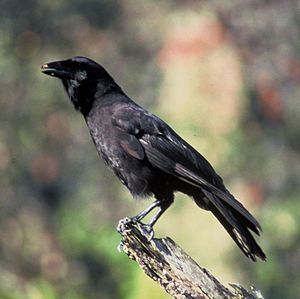 English: Hawaiian Crow (Corvus hawaiiensis). F...