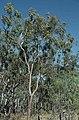 Corymbia umbonata.jpg