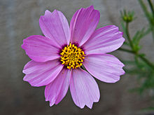 Cosmos bipinnatus pink, Burdwan, West Bengal, India 10 01 2013.jpg