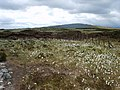 Cotton Grass, The Pewits - geograph.org.uk - 845147.jpg