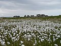 Cotton Grass and settlement near Loch Ard Achadh Islay - geograph.org.uk - 1555884.jpg