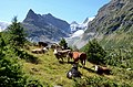 Cows in the mountain area with the Mont Mine and the melting down glacier Wallis - panoramio.jpg