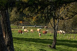 Cows on a meadow in Flemingsbergsskogens naturreservat.jpg
