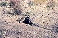 Coyote055 (26331182693).jpg
