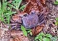 Crabs of Seychelles 05.jpg