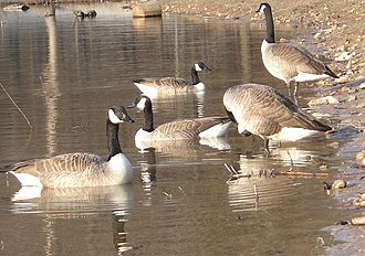 Jonesboro, Arkansas - A flock of Canada geese at Craighead Forest Park