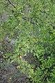 Crataegus pentagyna, Rosaceae 03.jpg