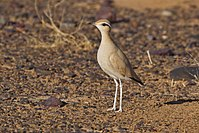 Cream-coloured Courser (4803935963).jpg
