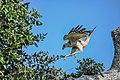 Crested Hawk- eagle (Spizaetus cirrhatus ceylanensis).jpg