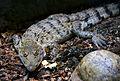 Crocodylus mindorensis juvenile Köln Zoo 31122014 3.jpg