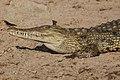 Crocodylus niloticus (28187137132).jpg