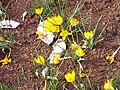 Crocus chrysanthus 'Zwanenburg Bronze'.jpg