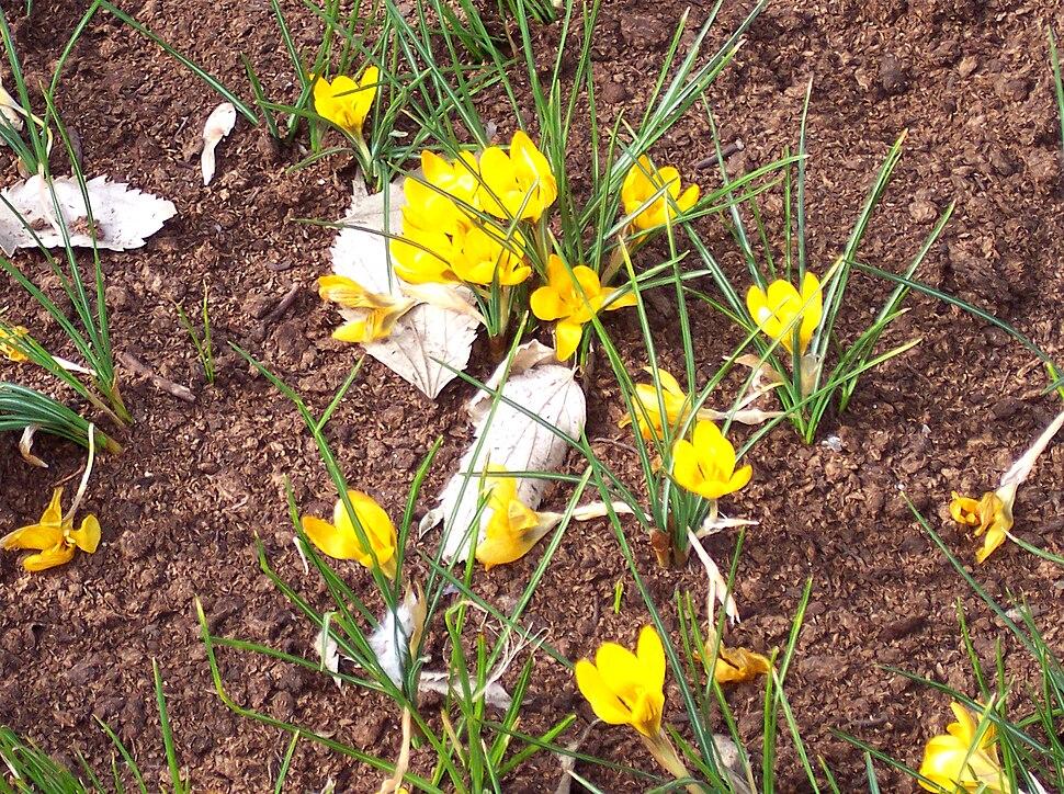 Crocus chrysanthus %27Zwanenburg Bronze%27