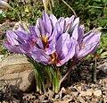 Crocus sativus YD01.jpg