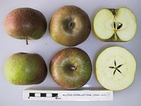 Cross section of Allen's Everlasting, National Fruit Collection (acc. 2000-015).jpg