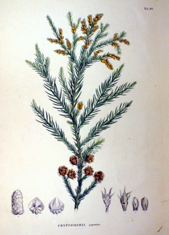 "Cryptomeria - Plate from ""Flora Japonica"" by Philipp Franz von Siebold and Joseph Gerhard Zuccarini"