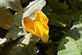 Cucurbita pepo Squash blossom.jpg