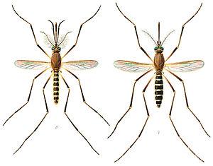 Culex quinquefasciatus - Left: male, right: female