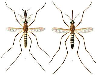 <i>Culex quinquefasciatus</i> species of insect