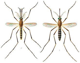 Nematocera - Typical Nematocera: male and female mosquito. Note the difference in the antennae