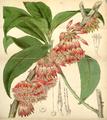 Curtis's Botanical Magazine, Plate 4303 (Volume 73, 1847).png