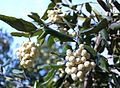 Curtisia dentata fruits - assegai tree.jpg
