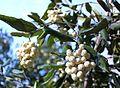 Curtisia dentata fruits - assegai tree.jpg