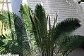 Cycas circinalis 26zz.jpg