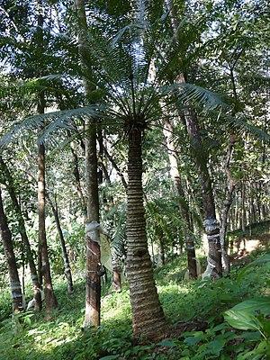 Cycas circinalis - Cycas circinalis in Kerala