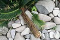 Cycas revoluta 24zz.jpg