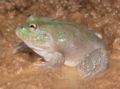 Cyclorana platycephala (eastern), male, lateral view.png
