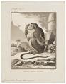 Cynocephalus porcarius - 1700-1880 - Print - Iconographia Zoologica - Special Collections University of Amsterdam - UBA01 IZ20100061.tif