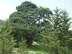 Cypress Halefka.JPG