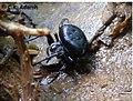 Cyrtarachne gravelyi in Chinnar Wildlife Sanctuary by C K Adarsh.jpg