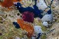 Cystodytes sp. à confirmer (organisme violet).jpg
