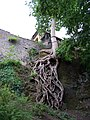 Děčín, kořeny na skále Růžové zahrady.jpg