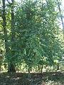 Dřín Podkomorské lesy.JPG
