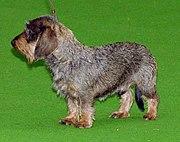 Wire-haired dachshund