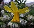 Daffodil and Hellebore (49630778472).jpg