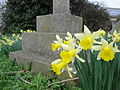 Daffodils at Newport Cemetery.JPG