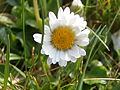 Daisy Flowers April 2014 (19).JPG