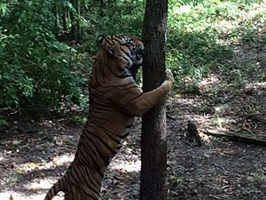 Dallas Zoo - Tiger using tree as scratching post