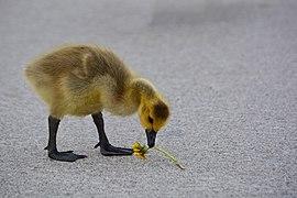 Dandelion Gosling (49922177848).jpg