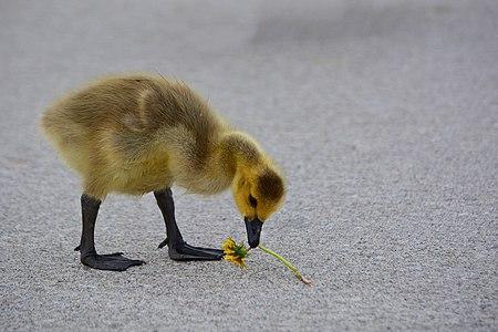 A Canada gosling eating a dandelion.
