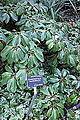 Daphniphyllum macropodum - San Francisco Botanical Garden - DSC00030.JPG